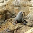 Jour 15 Kaikoura et ses lions de mers   Aujourd'hui nous allons à la rencontre des seals. Et voilà un nouvel animal à adopter… On le mettra dans la […]